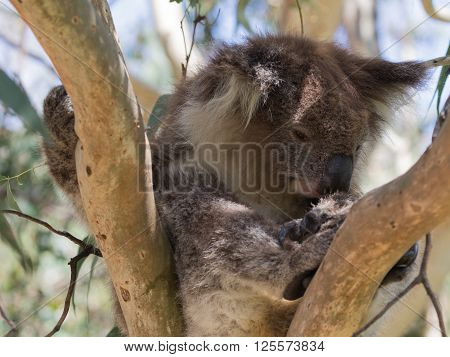funny furry sluggish gray-brown cute koala bear with white breast sitting on a eucalyptus tree in the eucalyptus forest Australia