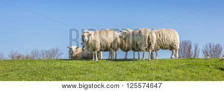 Panorama of white sheep on a dike in the Netherlands