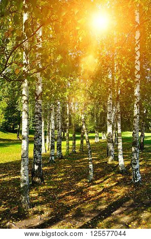 Birch trees in early autumn with sunny light breaking through the top branches. Natural sunny autumn landscape.