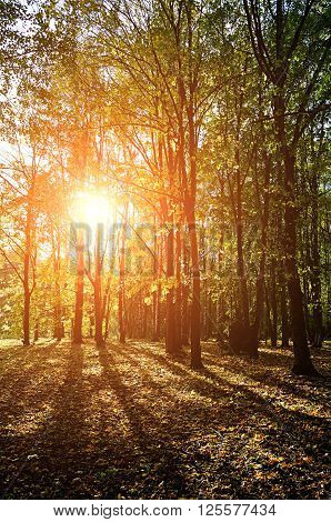 Picturesque view of sunset in the autumn forest with sunbeams breaking through the tree branches. Soft filter applied