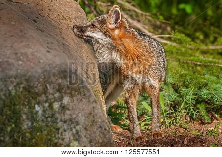 Grey Fox Vixen (Urocyon cinereoargenteus) Sniffs Rock - captive animal