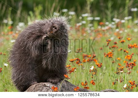 Porcupine (Erethizon dorsatum) Poses Atop Log - captive animal