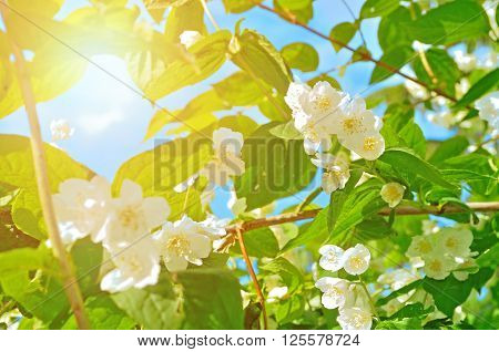 White blossoming jasmin flowers in the backlight under bright sunlight - summer natural background. Soft filter applied