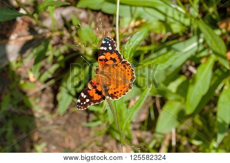 The small tortoiseshell (Aglais urticae) butterfly collect pollen on flower. Natural background with colorful insect.