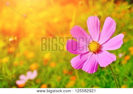 Pink cosmos flower - in Latin Cosmos Bipinnatus - in the meadow under warm sunny light - summer floral background. Selective focus at the flower