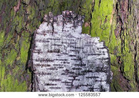 natural wood texture of bark pine tree