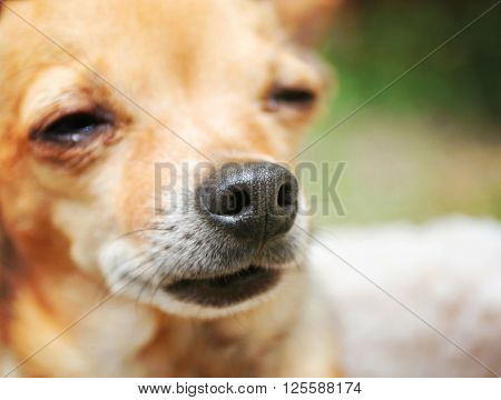 VERY SHALLOW DOF ON NOSE of a cute chihuahua in the grass outside in a park or backyard