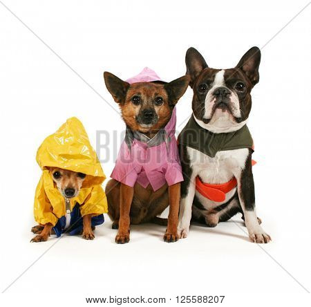 two cute chihuahuas and a boston terrier in rain jackets isolated on a white background in the studio