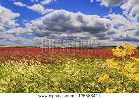 SPRINGTIME. Alta Murgia National Park: field of purple flowers.( Apulia) ITALY.It is a limestone plateau,with wide fields and rocky outcrops,grassland characterized by sheep paths,ancient carob tree,bushes of lentiscus plant and colourful wild orchids