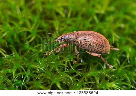 Beetle Broad-nosed weevil (Coleoptera: Curculionoidea) living on the Italian Alps