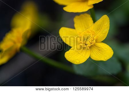 yellow blossom with water drops of marsh marigold