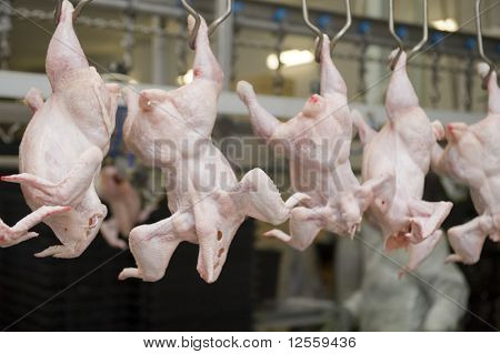 Continuous conveyor of meat of chickens