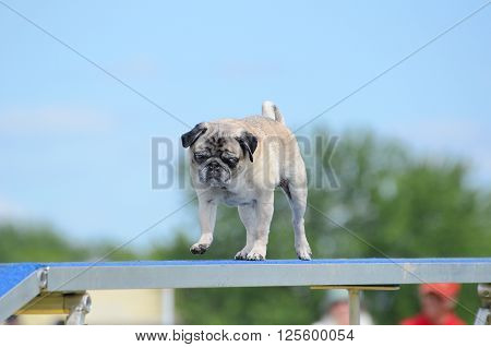 Pug Running on a Dog Walk at an Agility Trial