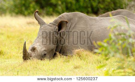 White Rhino Chilling