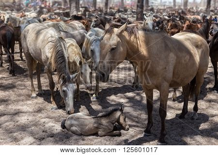 Horses protect sick and tired baby horse. In the corral.