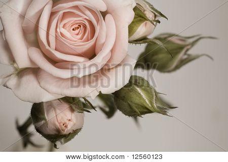 Hermosa rosa sepia con cogollos
