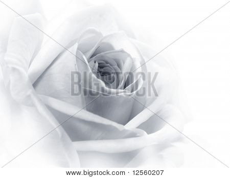 Beautiful rose black&white