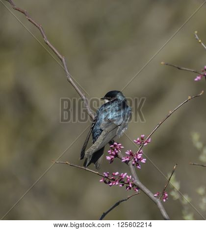 A Tree Swallow (Tachycineta bicolor) sits on a branch of a blooming redbud tree.