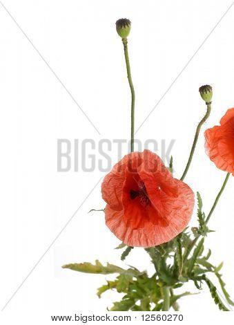 Poppies border