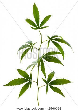 Marijuana on white
