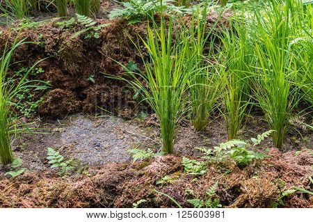 Crops of growing wild rice (Oryza Sativa)