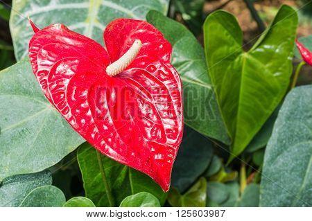 A Ref Anthurium beautiful Flower (Anthurium longistamineum)