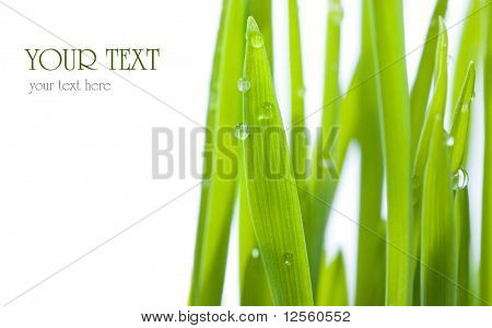 Fresh Grass with dew drops.Studio isolated