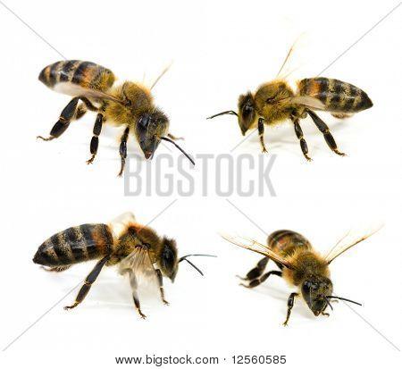 Coleção de abelhas
