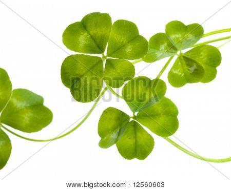 Patrón de tréboles de cuatro hojas