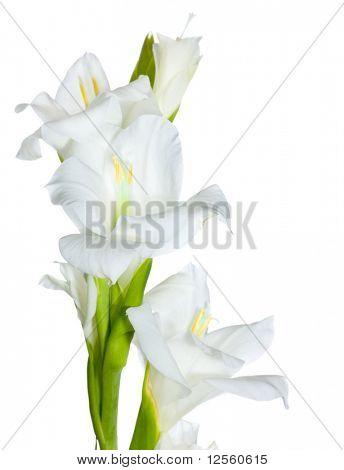 Schönen weißen Gladiolus