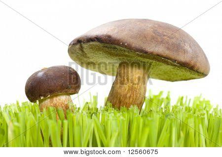 Two beautiful Eatable Mushrooms in grass