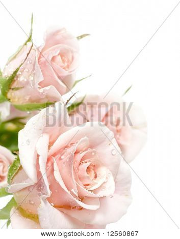 Beautiful Roses over white
