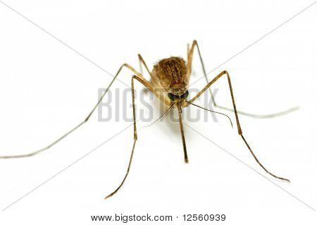 Supermacro of Mosquito over white.Focus on green eyes