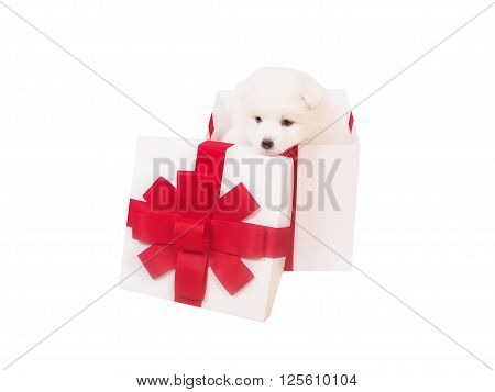 Cute Japanese Spitz and white holiday box. isolate.