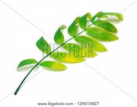 Multicolor Rowan Leaf On White