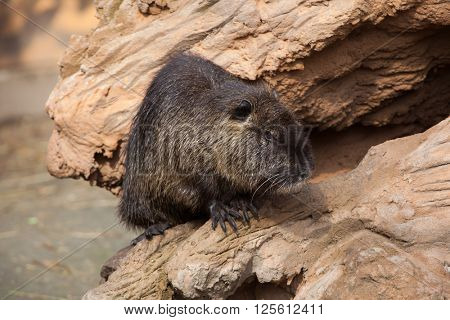 Coypu (Myocastor coypus), also known as the river rat or nutria. Wild life animal.