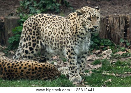 Persian leopard (Panthera pardus saxicolor), also known as the Caucasian leopard.Wild life animal.