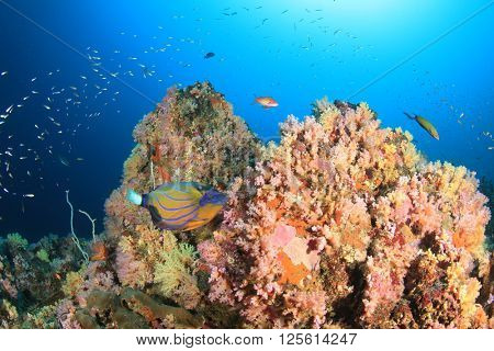 Coral reef with angelfish