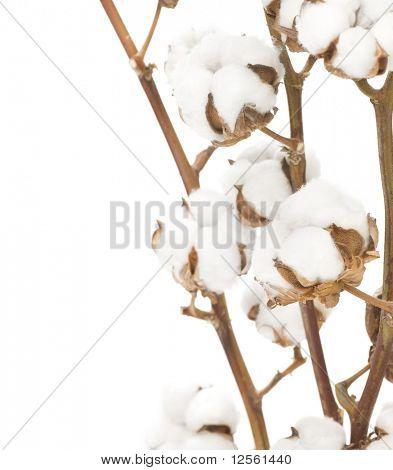 Flores de algodón sobre blanco