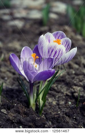 Two crocus flowers