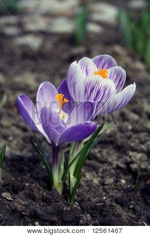 Two crocus flowers