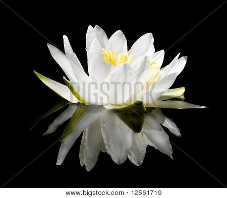 White Water-Lily with the real reflection isolated on black