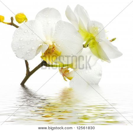 Fresh Orchid in Water