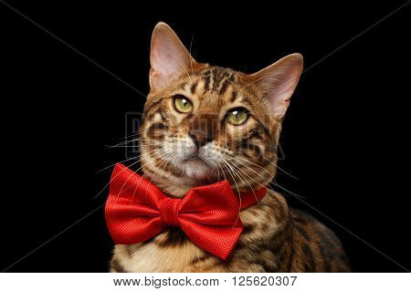 Closeup Portrait of Bengal Male Cat with bow tie Curiously Looking in Camera on Black Isolated Background