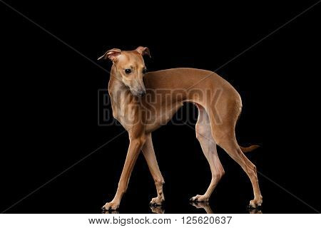 Italian Greyhound Dog Standing on Mirror and Looking at side isolated on Black background Posing Profile view