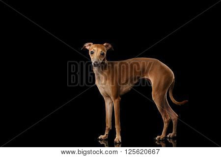 Italian Greyhound Dog Standing on Mirror and Looking in Camera isolated on Black background Posing