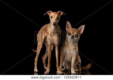 Red Chihuahua and Italian Greyhound Dogs Sitting on Mirror and Looking in Camera isolated on Black background