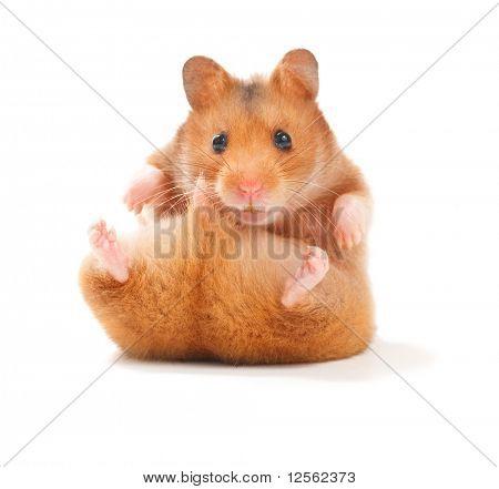 Hamster engraçado
