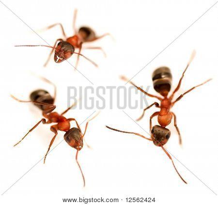 Ants Set