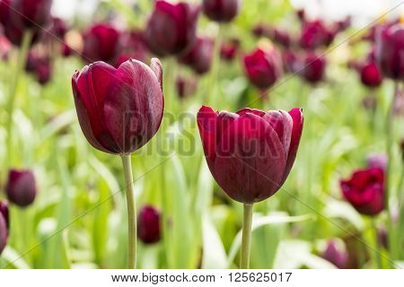 Red Tulip Beautiful bouquet of tulips colorful tulips Red tulips in spring with soft focus